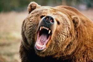 Brown bear (Ursus arctos) growling, close-up, Washington, USA